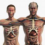 دانلود مدل سه بعدی آناتومی بدن زن و مرد